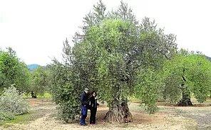 Olivos Centenarios Condenados A Muerte