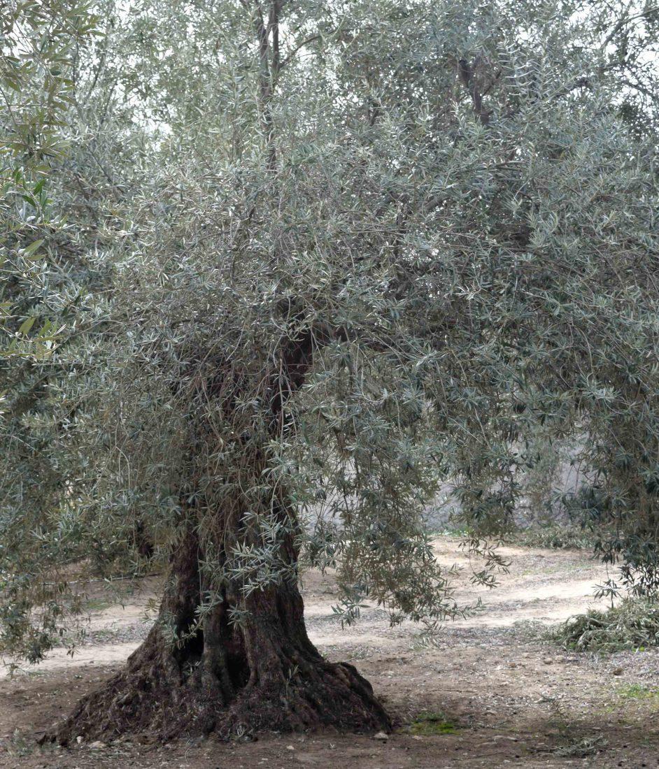 Apadrina Un Olivo Lucio 24