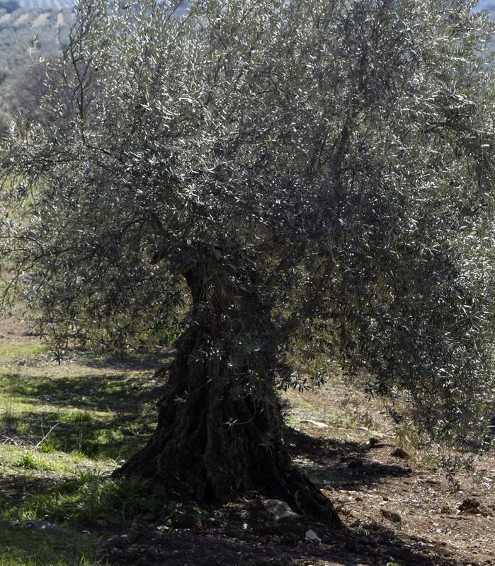 Apadrina Un Olivo Lucio 31