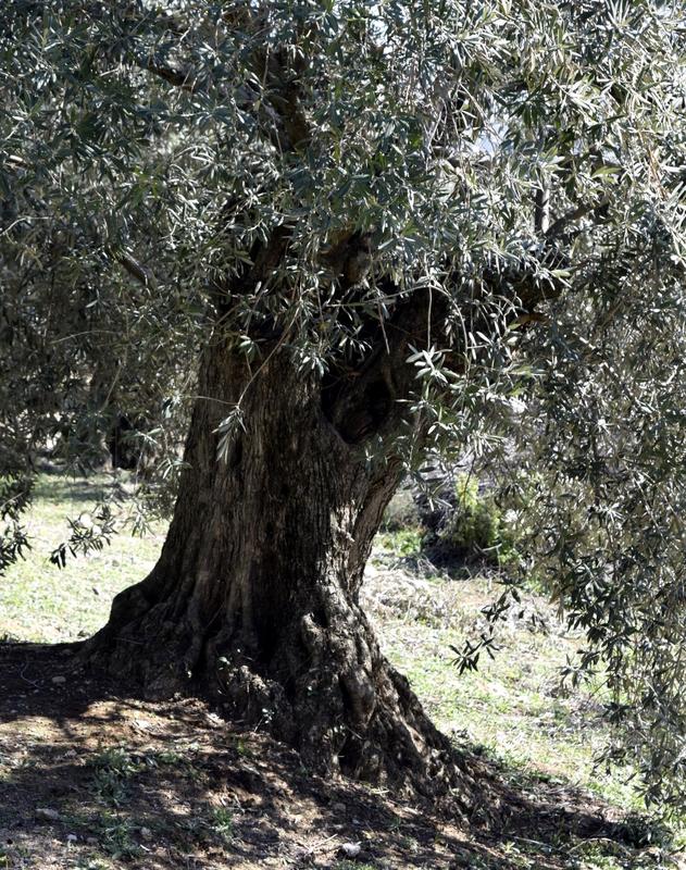 Apadrina Un Olivo Lucio 33
